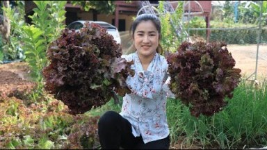 Purple Lettuce from vegetable garden is so fresh / Purple lettuce recipe / Cooking with Sreypov