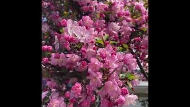 বসন্ত বাতাসে||spring in Japan||japan bangla vlog